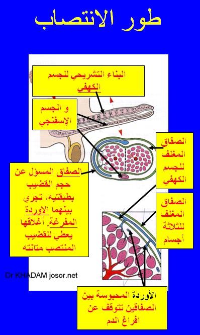 b38a14303 طبيب الوب - طول القضيب و دوره بالرضاء الجنسي - دكتور لؤي خدام