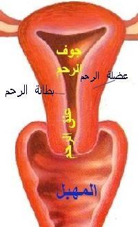 صور لشكل الرحم من الداخل، صور لعنق الرحم والمهبل من الداخل، رحم، مهبل uterus_schma.jpg