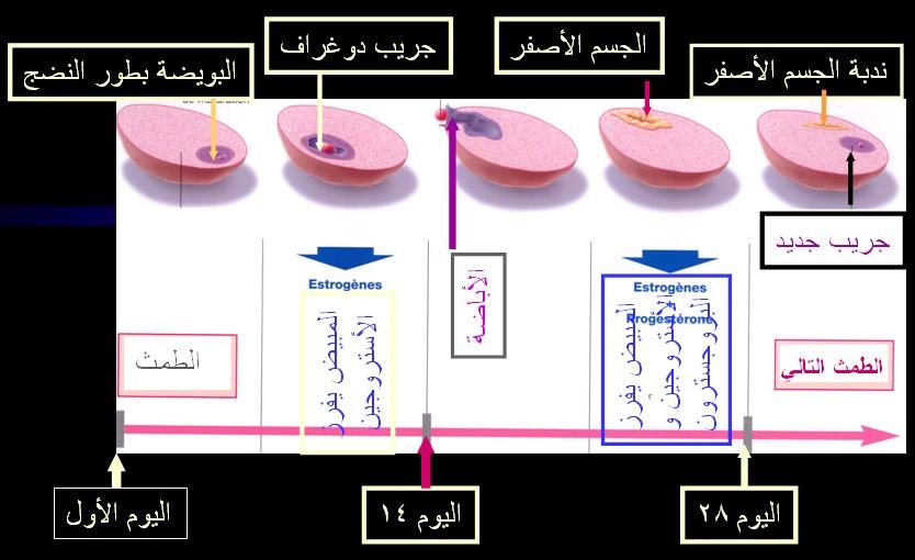 الدورة الطمثية ـ الدورة الشهرية عند المرآة للأخت كئيبه و للجميع CYCL Ovulation.jpg