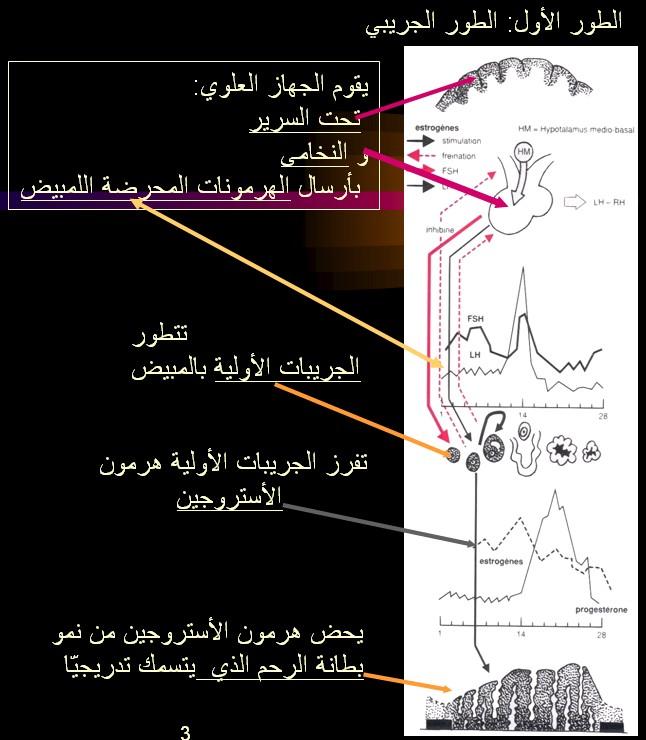 الدورة الطمثية ـ الدورة الشهرية عند المرآة للأخت كئيبه و للجميع cycl PHASE FOLICULAIRE.jpg