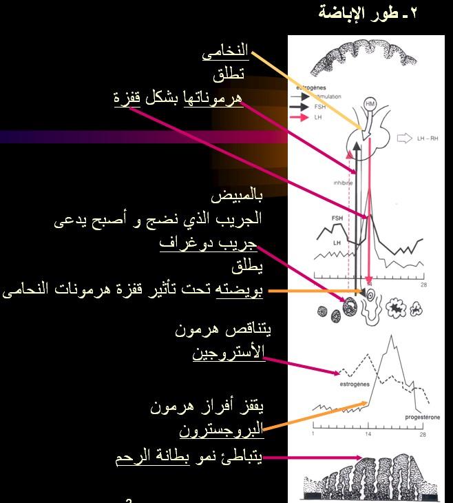 الدورة الطمثية ـ الدورة الشهرية عند المرآة للأخت كئيبه و للجميع cycl PHASE OVULATOIR.jpg